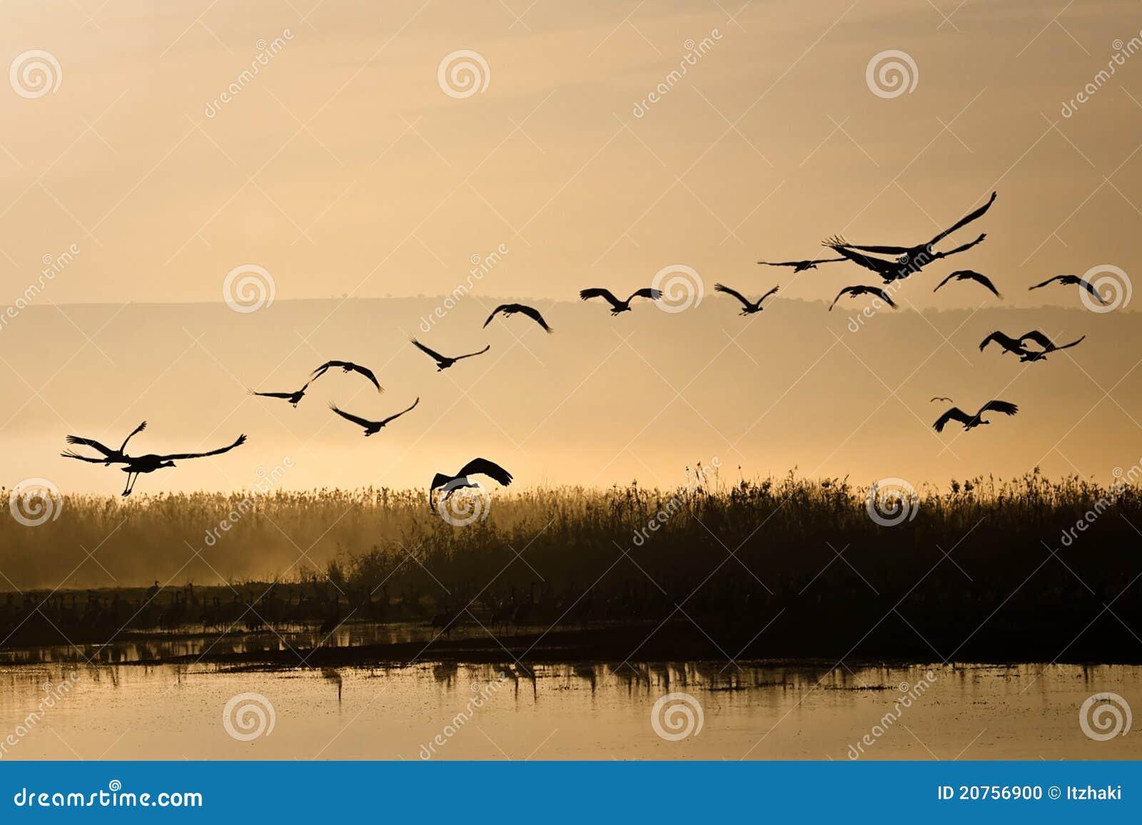 Kranar som flyger soluppgång