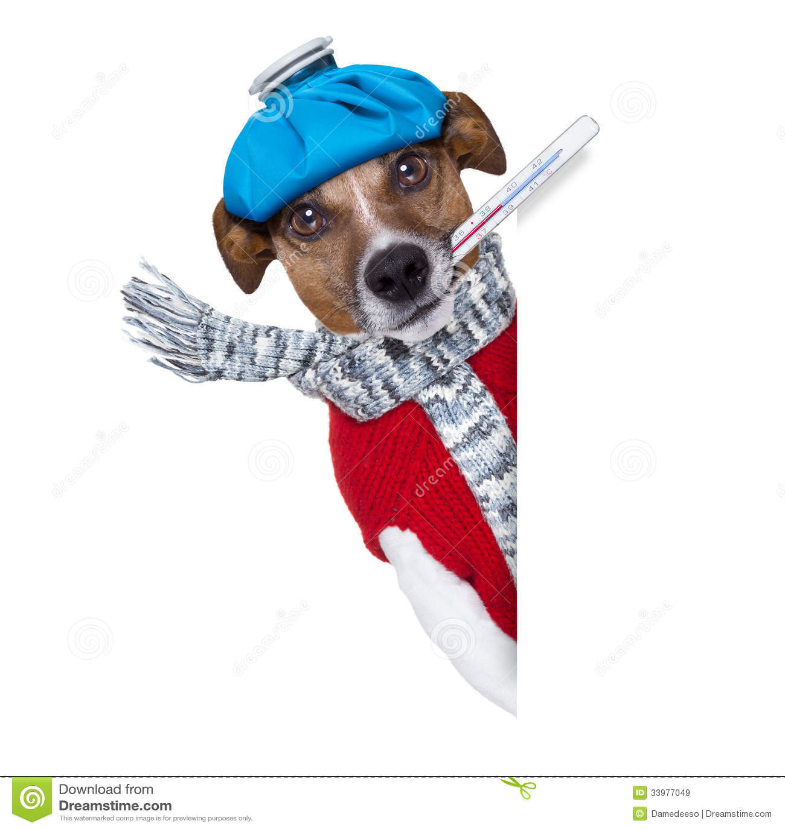 kranker hund mit fieber stockbild bild von beutel lustig 33977049. Black Bedroom Furniture Sets. Home Design Ideas
