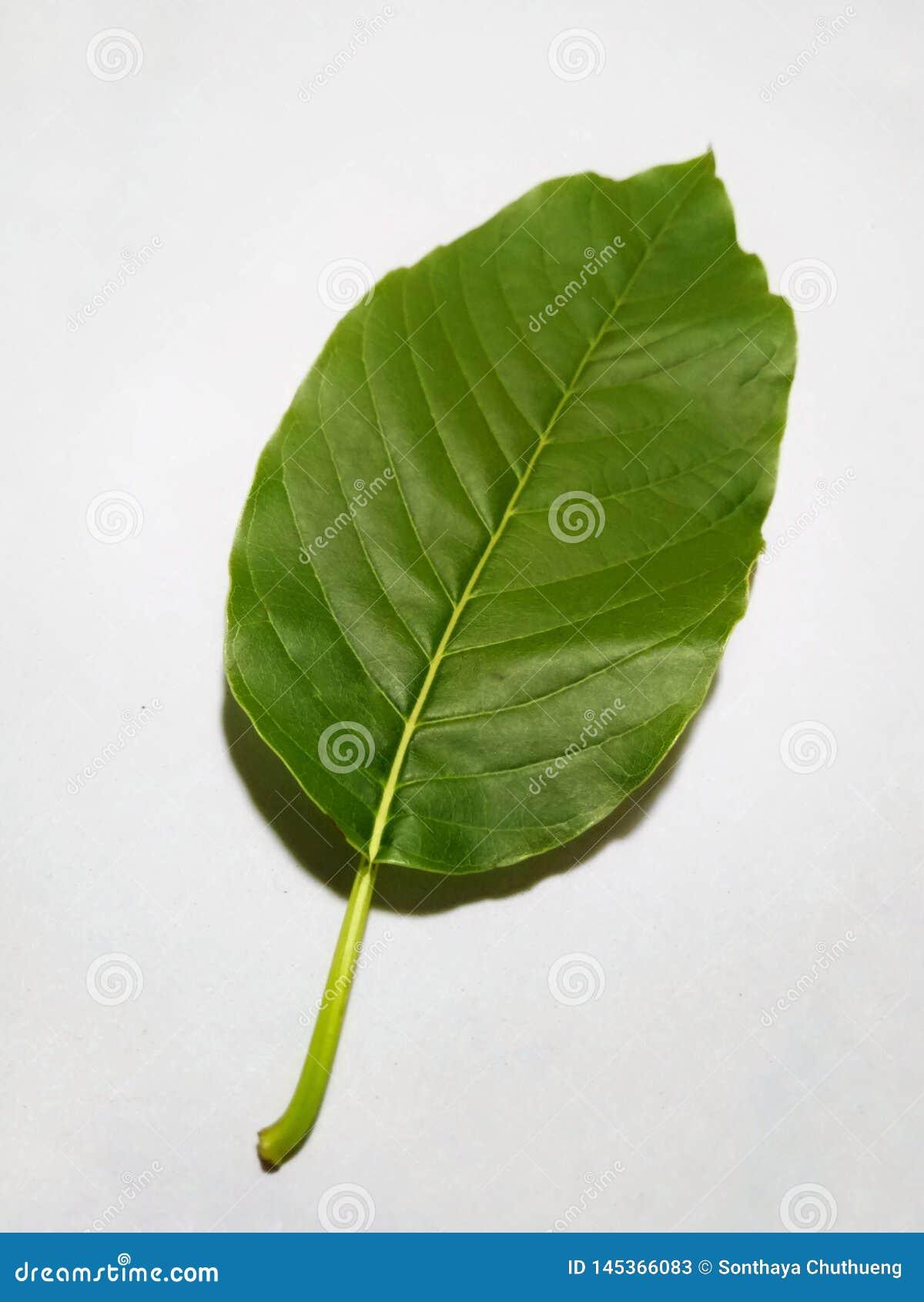 Kratom leaves on a white background
