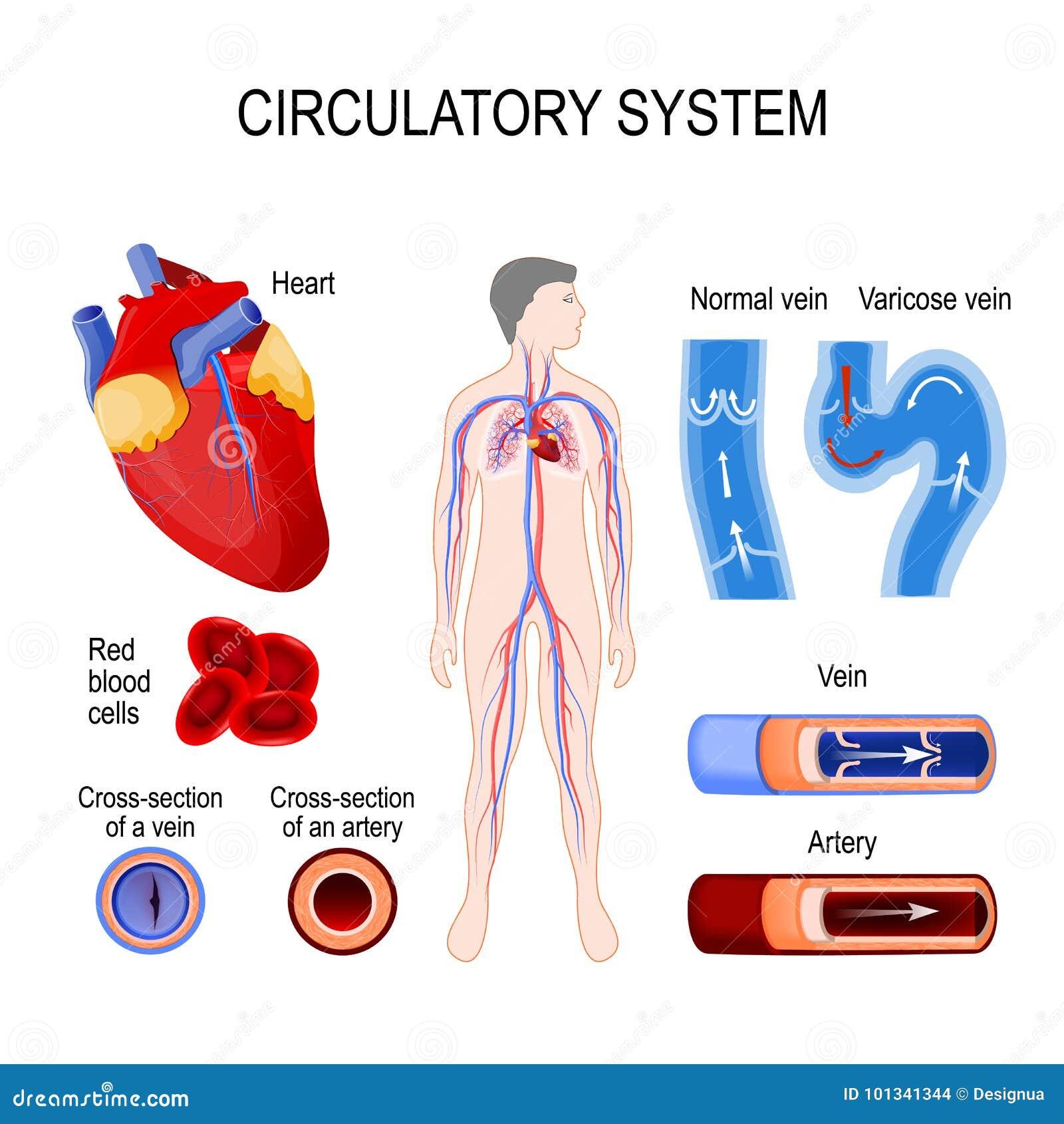 Groß Arterien In Das Kreislaufsystem Zeitgenössisch - Physiologie ...