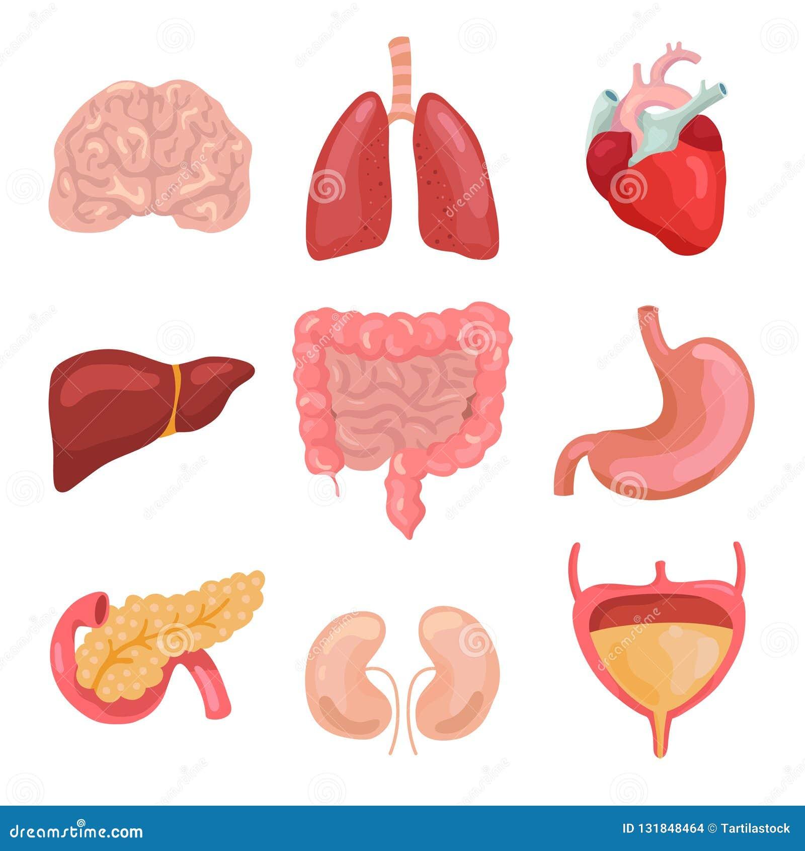 Kreskówki ciała ludzkiego organy Zdrowy trawienny, krążeniowy Organowe anatomii ikony dla medycznego mapa wektoru setu