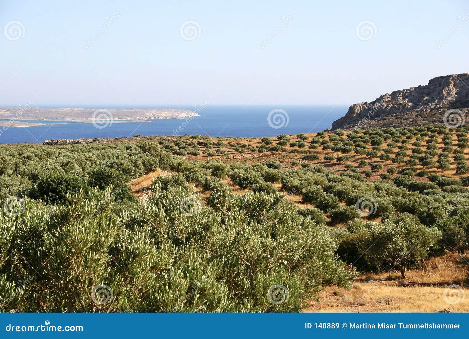 Krety drzew oliwnych