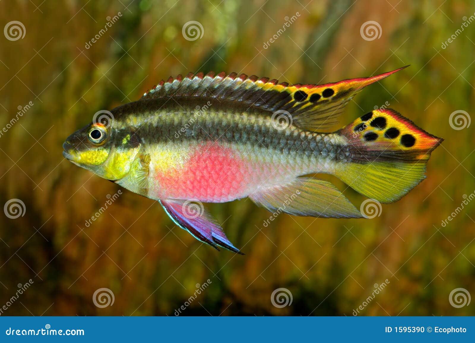 Colorful kribensis or purple cichlid (Pelvicachromis pulcher) from ...