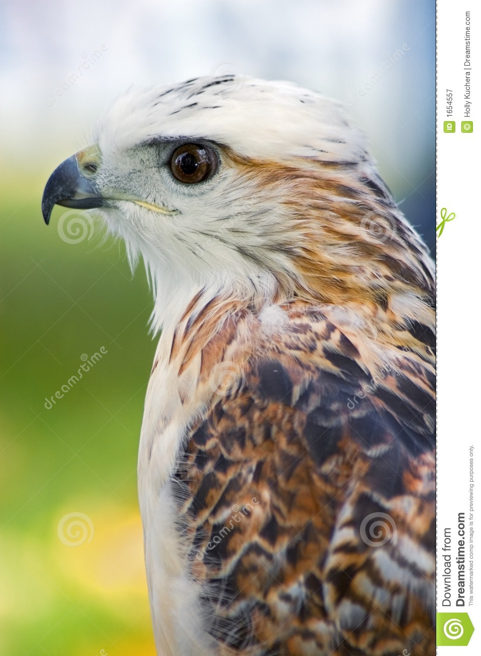 Krider's Hawk (Buteo Jamaicensis) Profile Royalty Free Stock ...