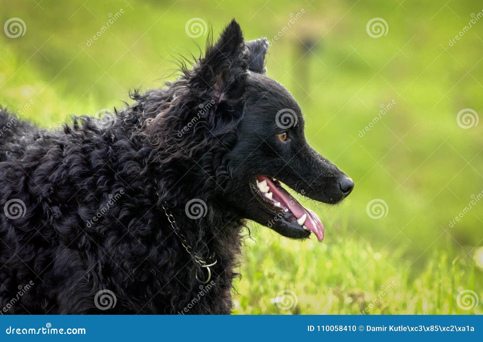 Kroatisk herde Rea 2 för svart hund