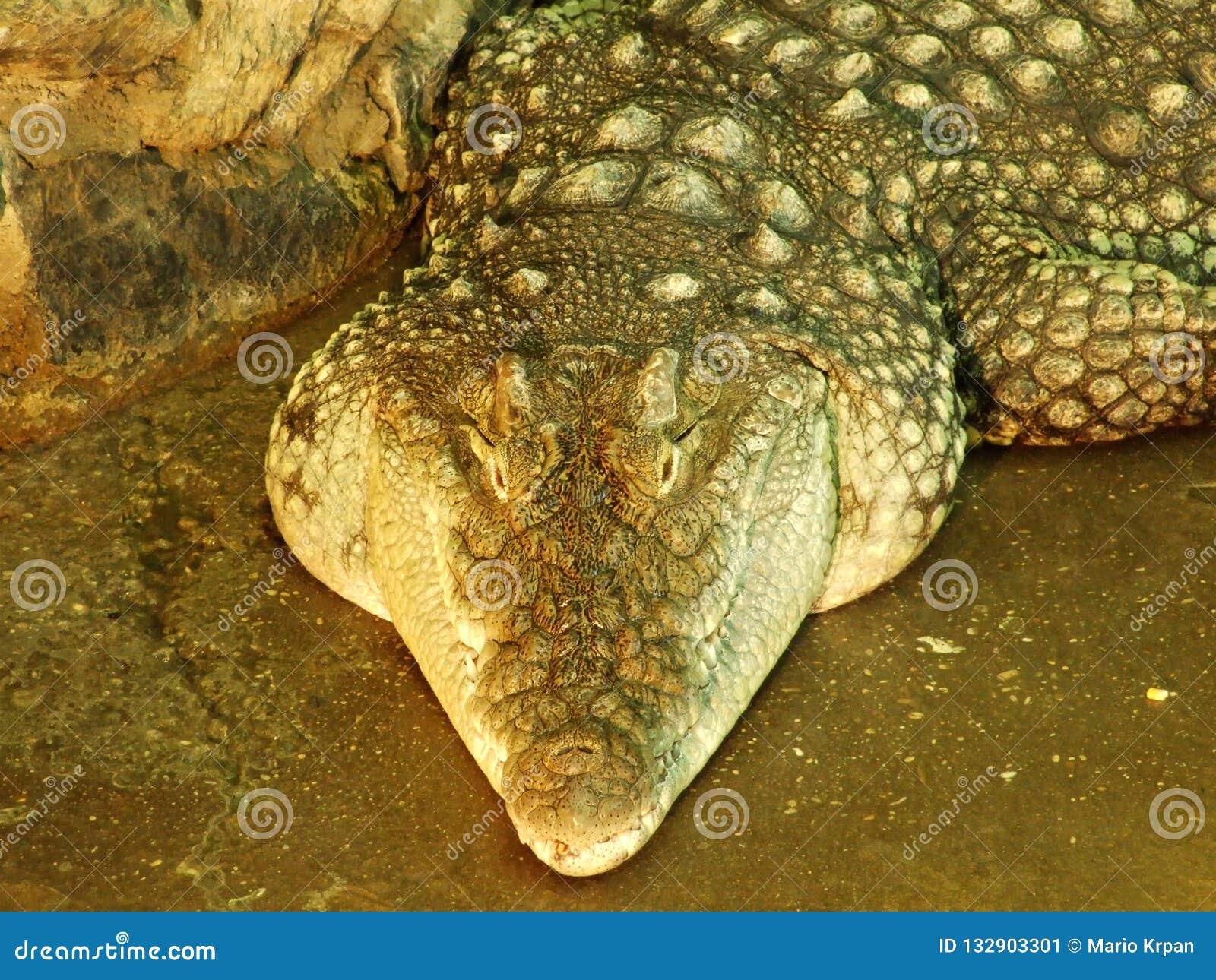 Krokodil bij de dierentuin in Zagreb
