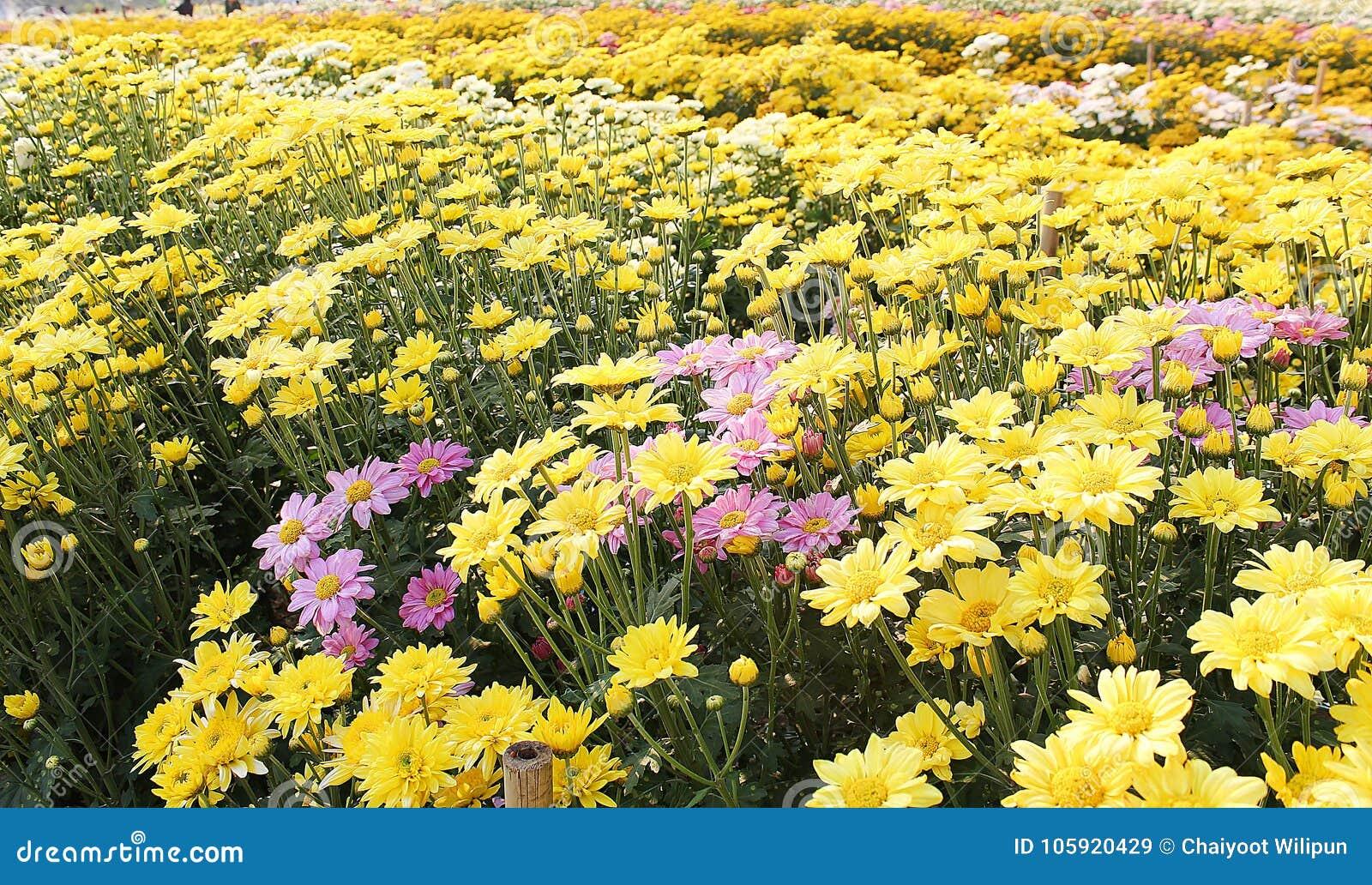 Krokodil Blumen Feld Kosmos Blumen Feld Die Felder Werden Gepflanzt