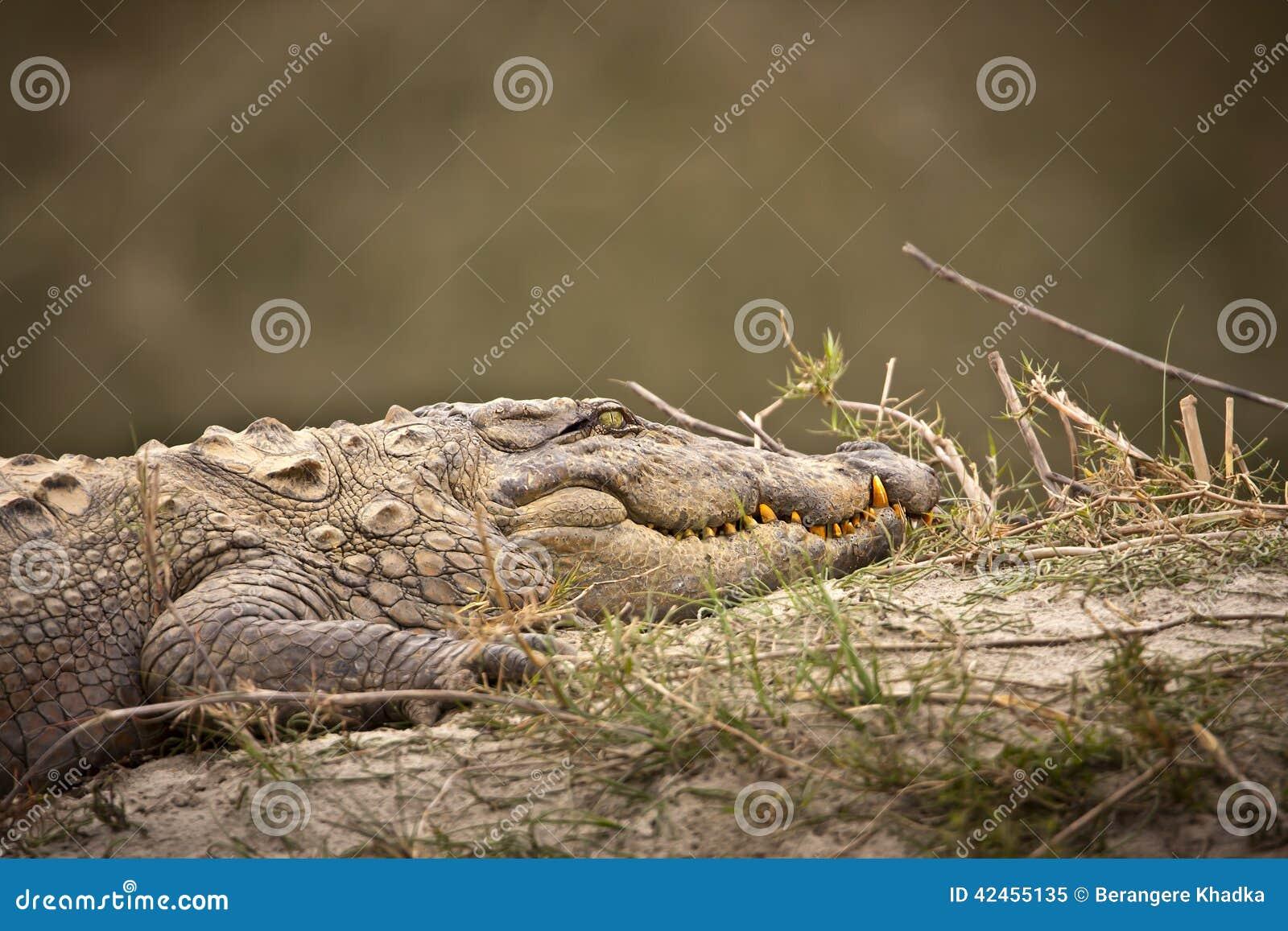 Krokodil, das auf dem Riverbank schläft