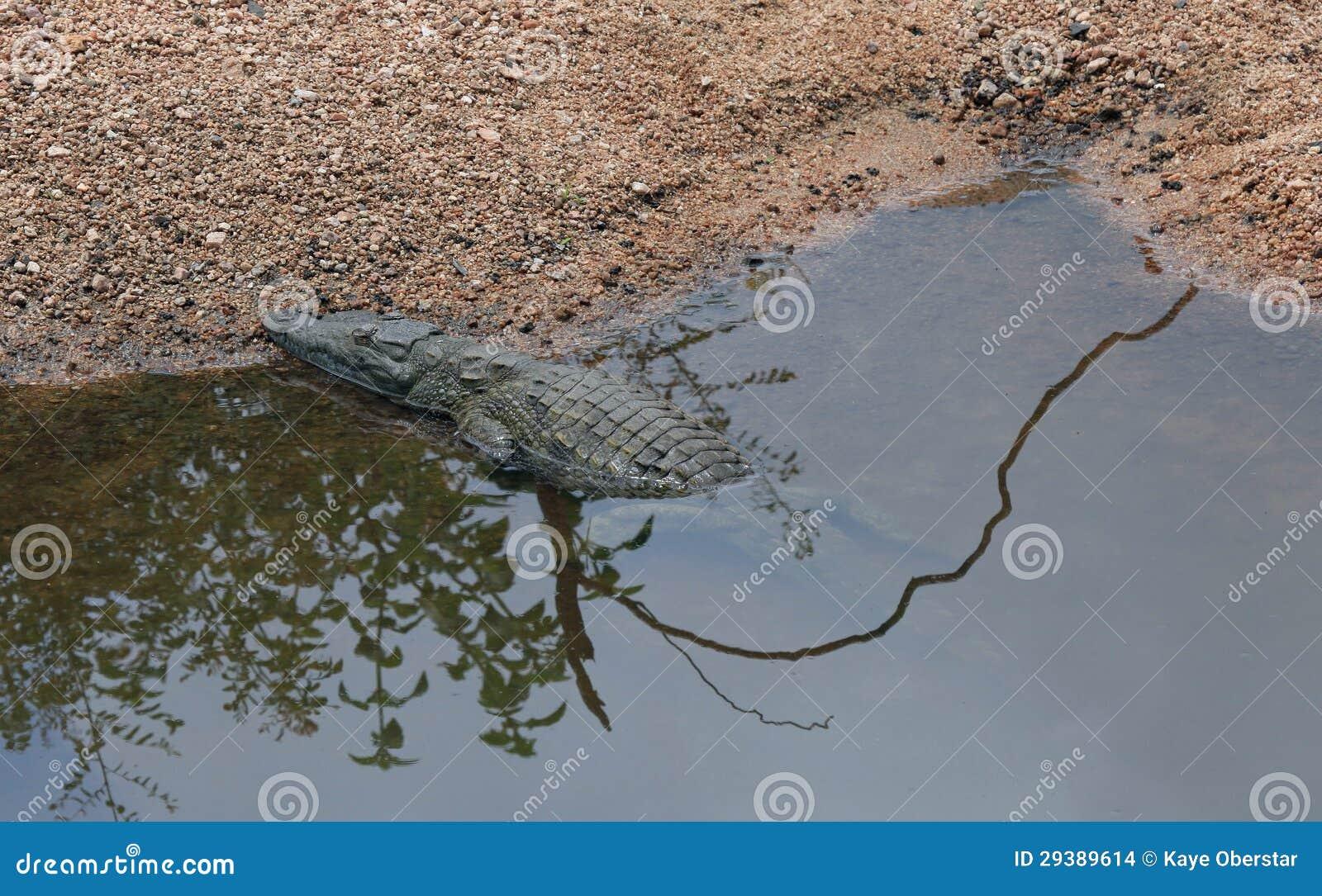 Krokodil die in de zon bij Nationaal Park Kruger zonnebaden
