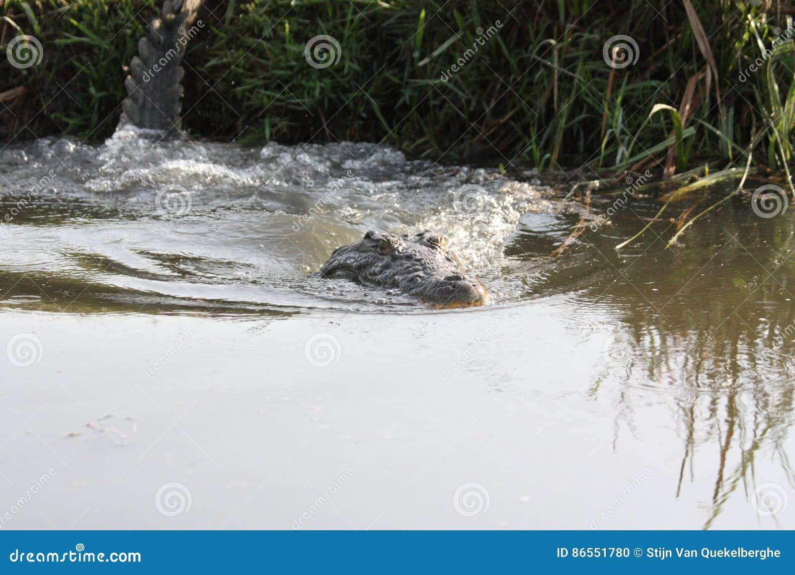 Krokodil die in het water duiken