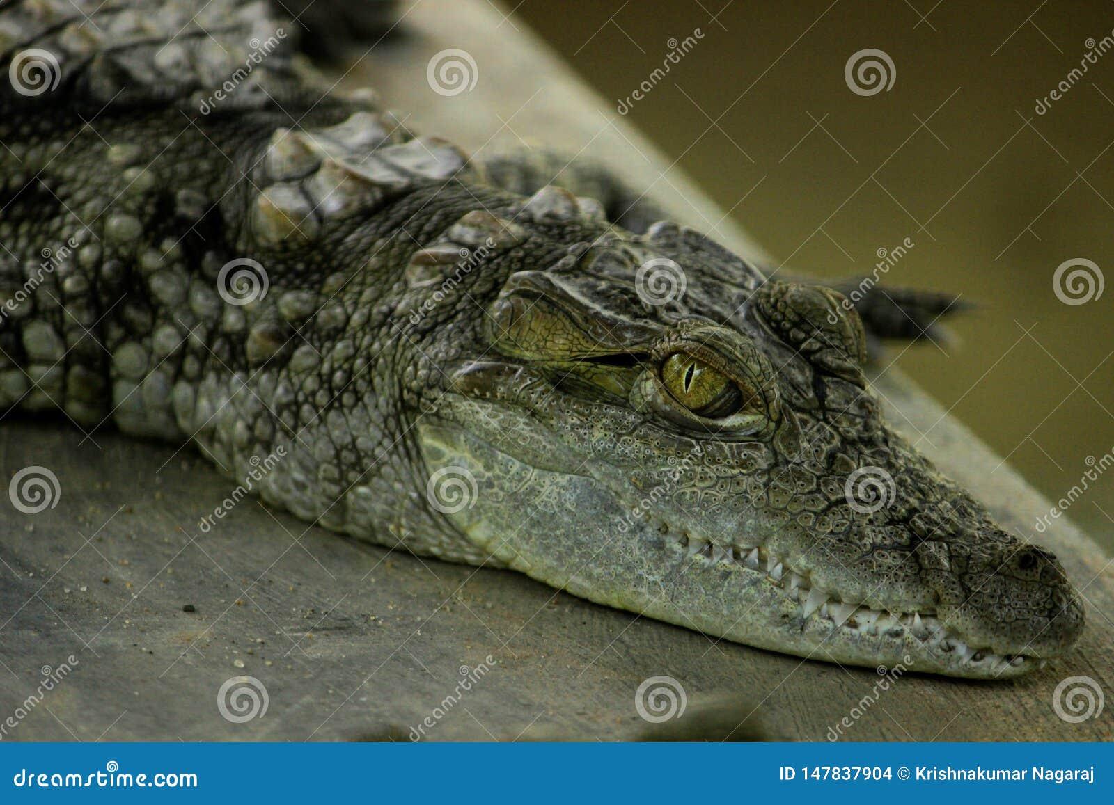 Krokodil die rust nemen
