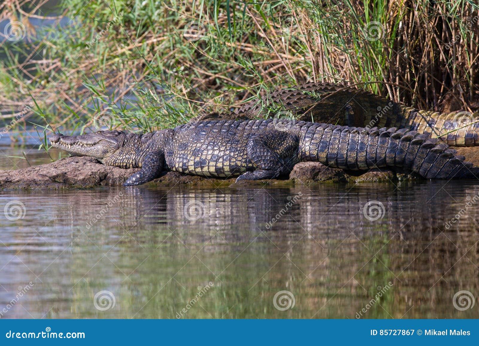 Krokodil die in zon zonnebaden