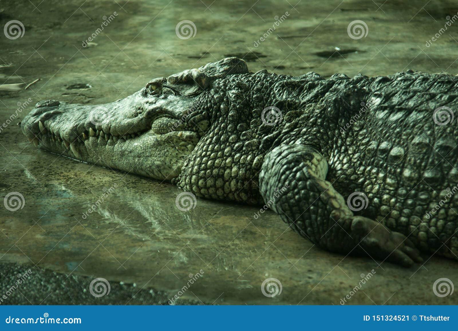 Krokodil in een landbouwbedrijf