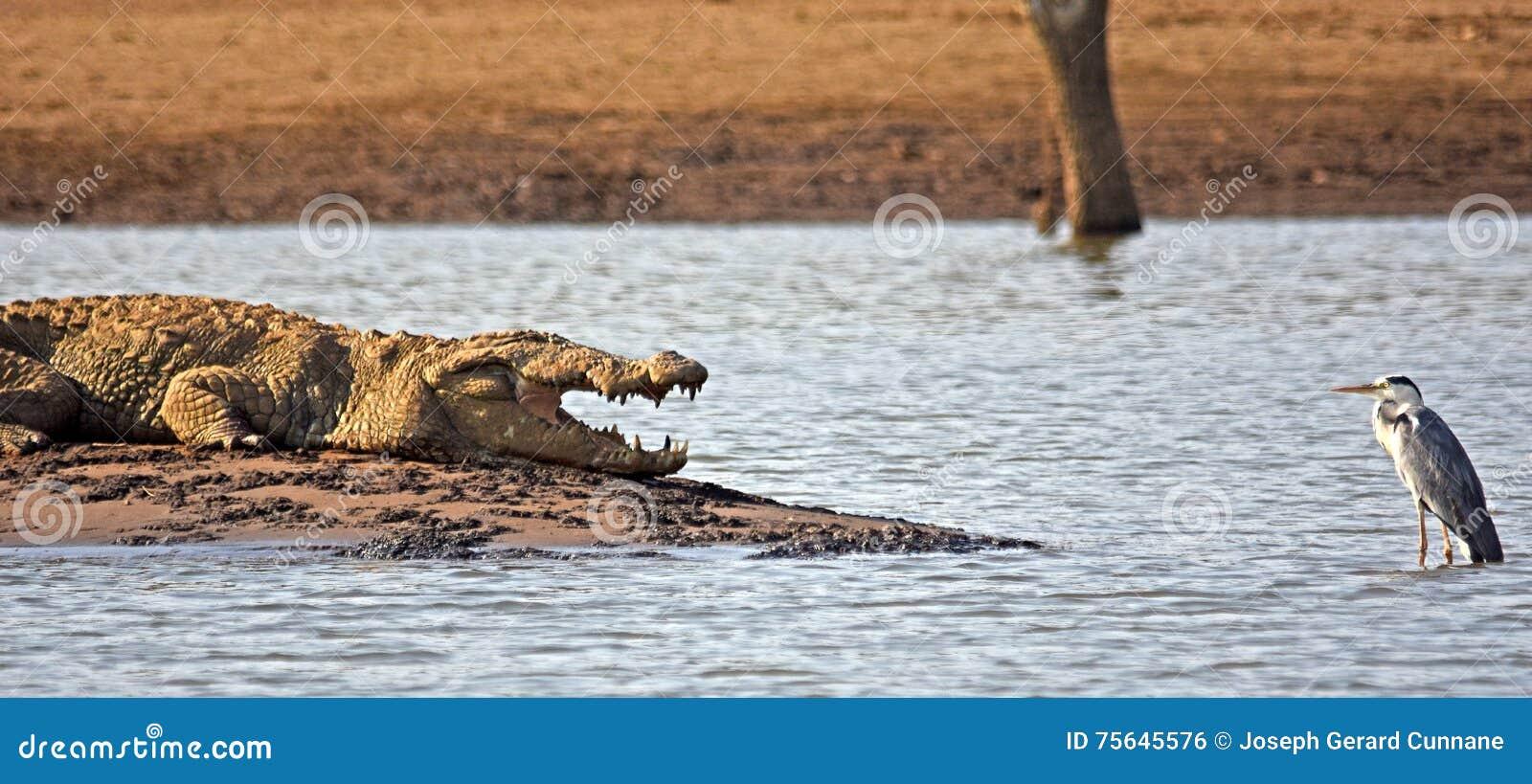 Krokodil en grijze reiger gezicht-weg