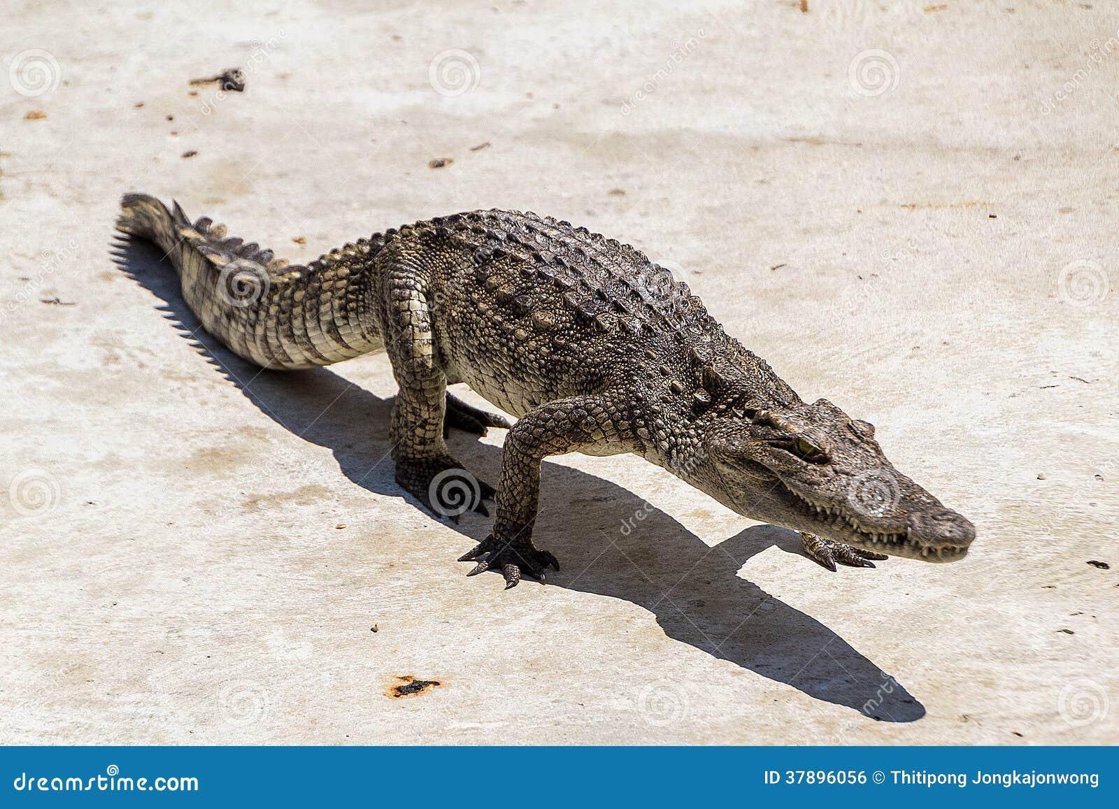 Krokodil het lopen