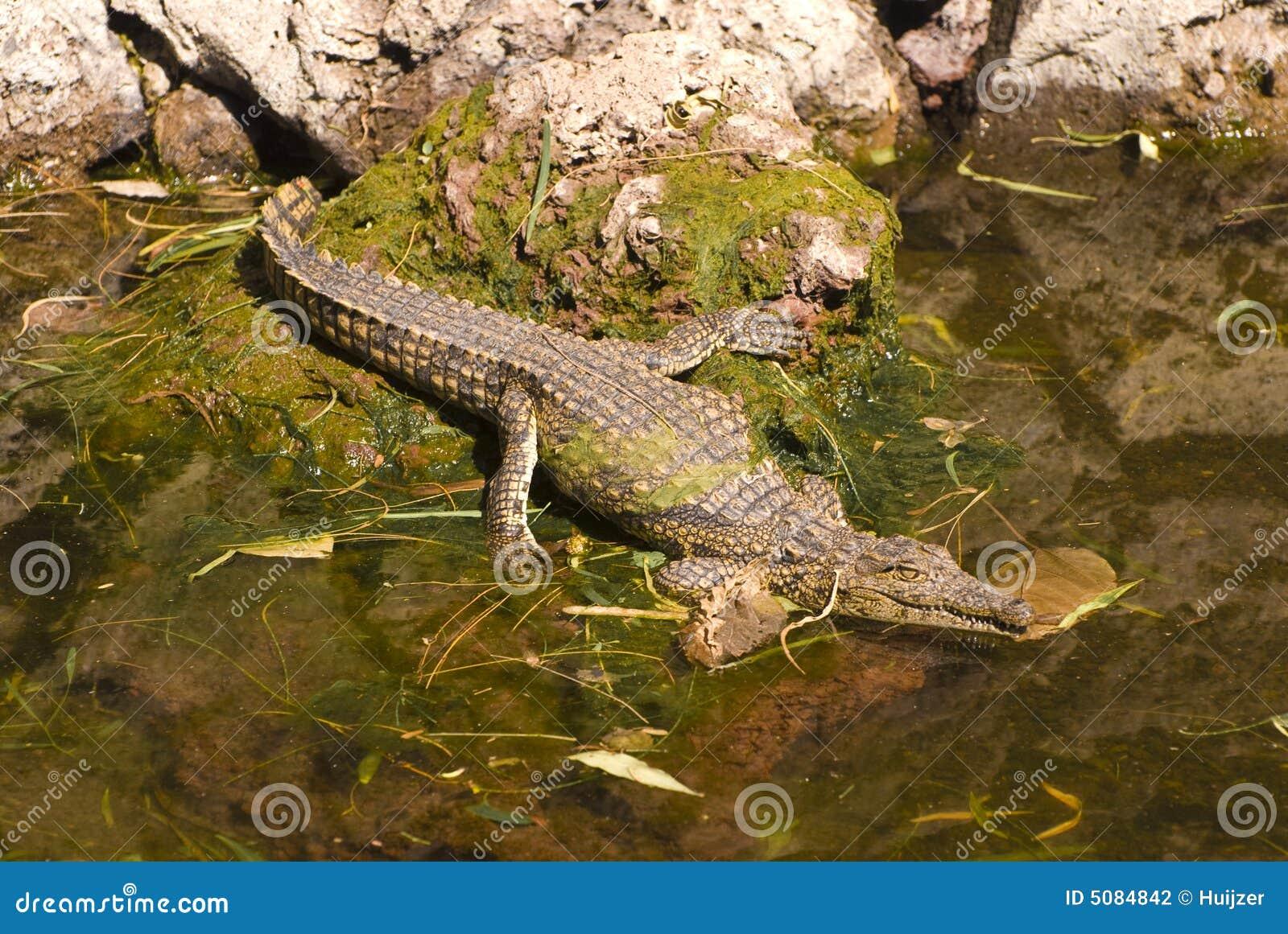 Krokodil im Wasser (Krokodil Mississippiensis)