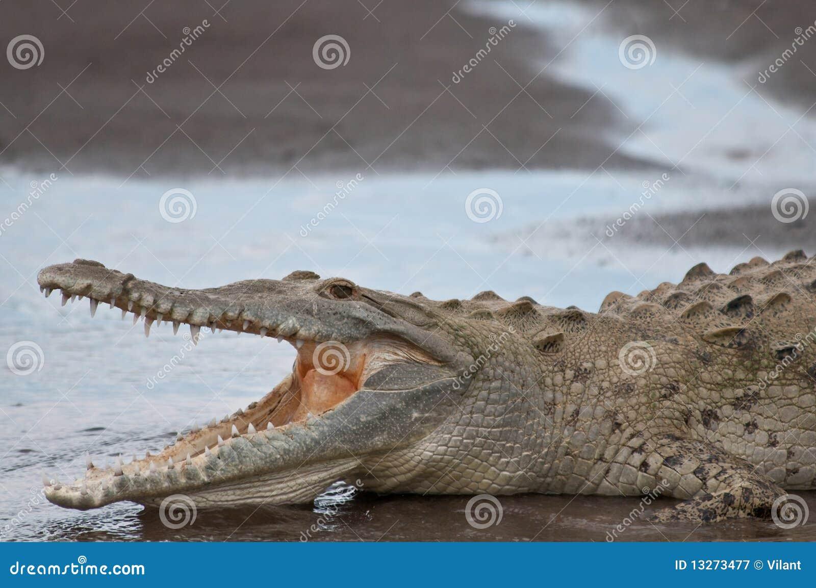 Krokodil met open mond