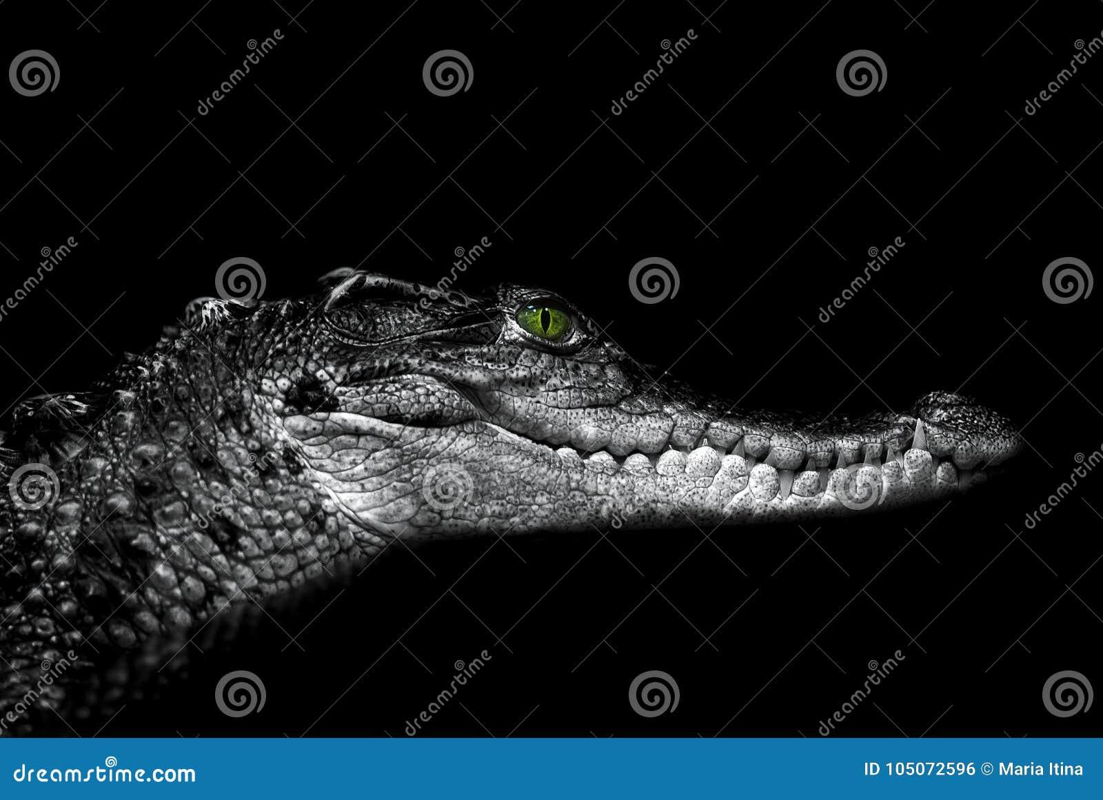 Krokodil: portret op een zwarte