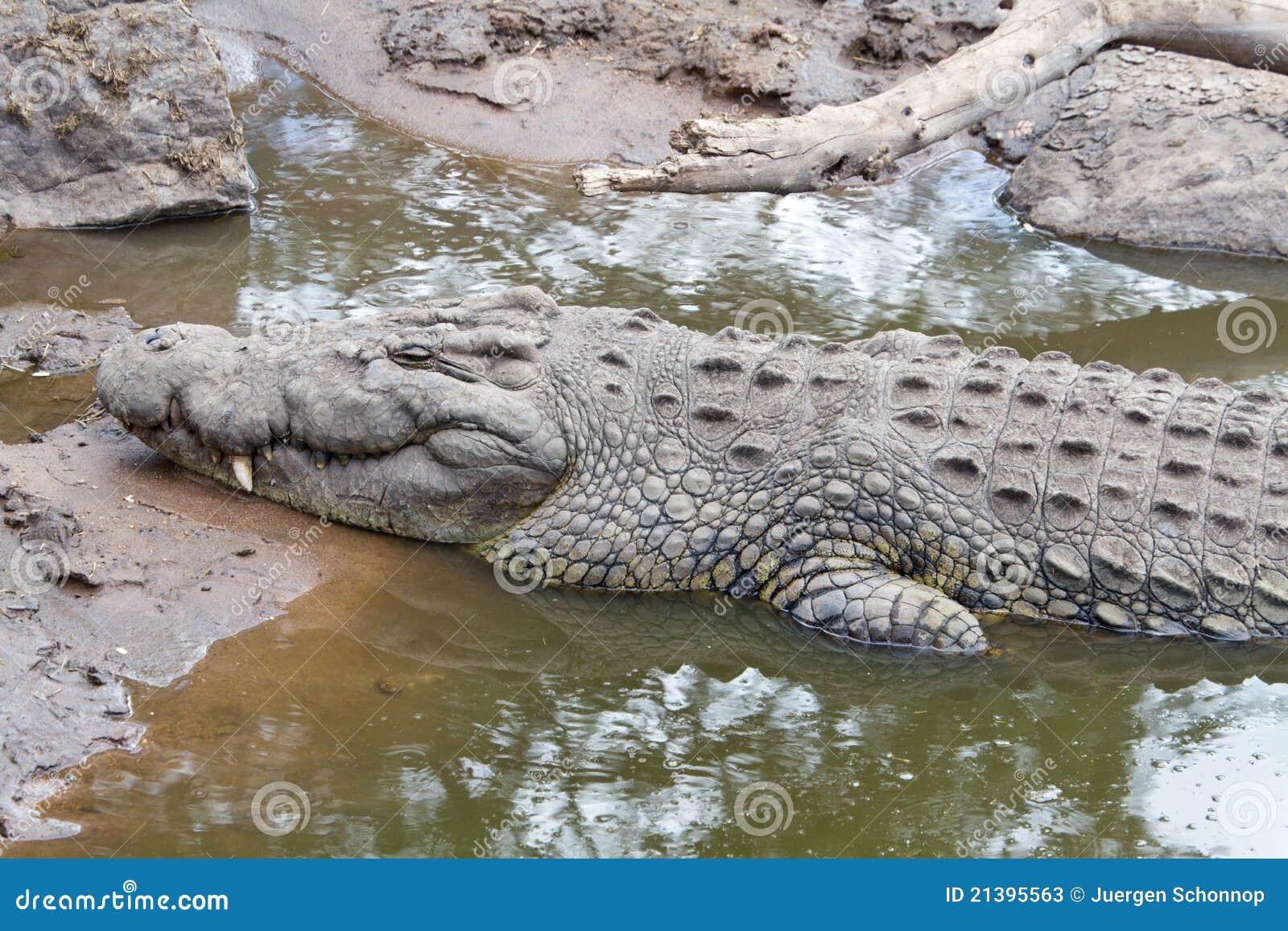 Krokodil in Serengeti
