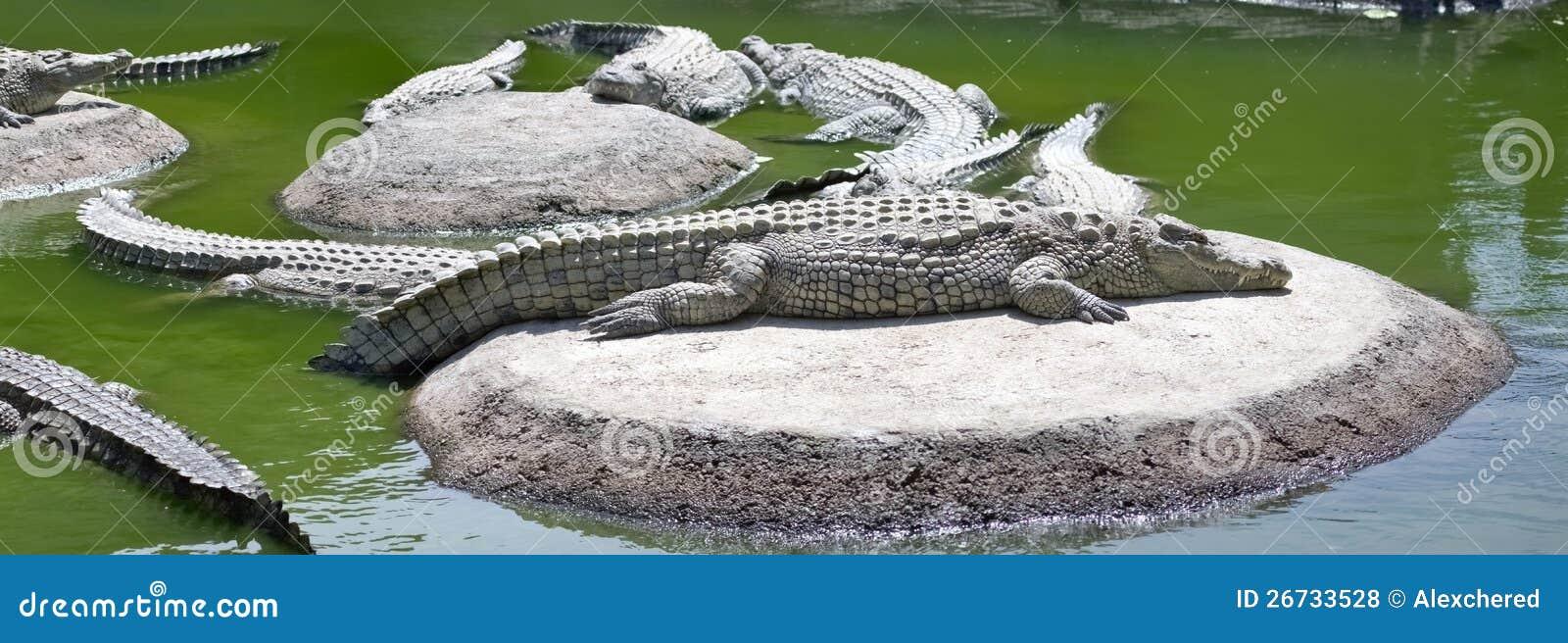 Krokodile Die Auf Sonne Liegen Stockfoto Bild Von Nave Kopf