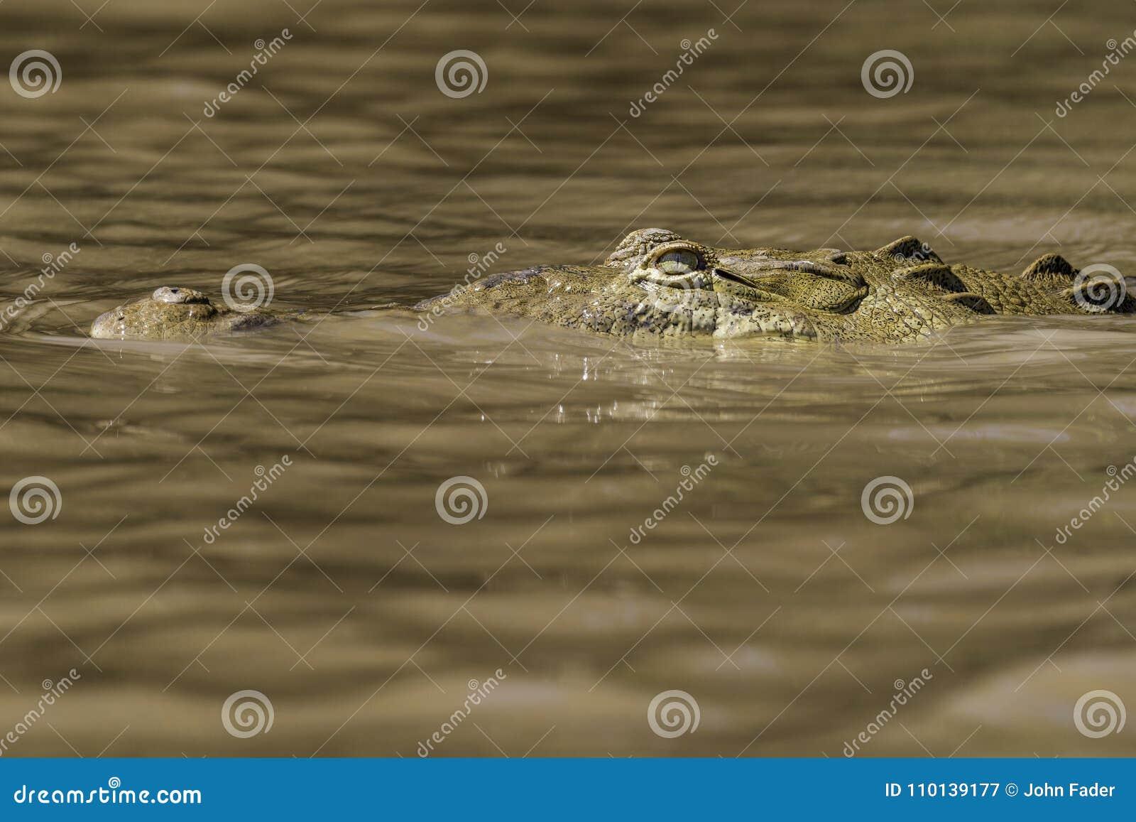 Krokodilhuvud i skumt vatten