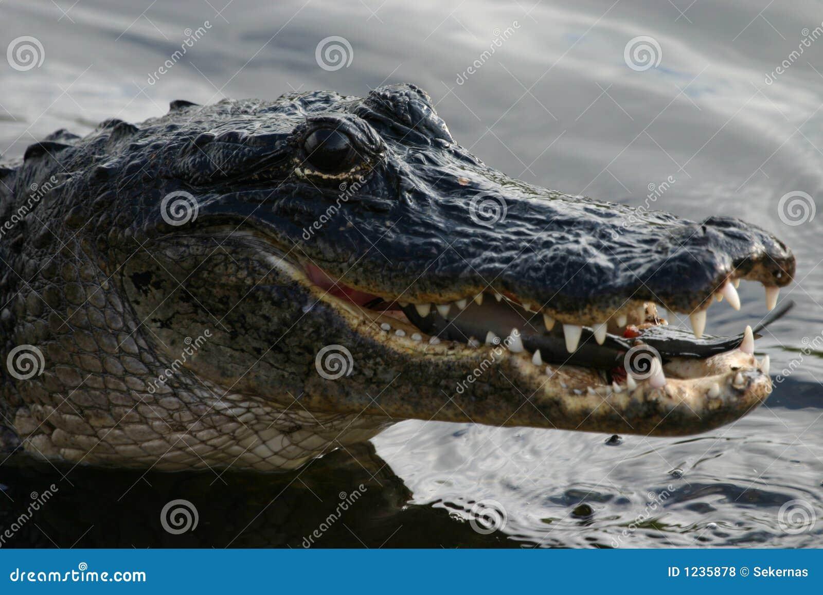 Krokodille etende katvis