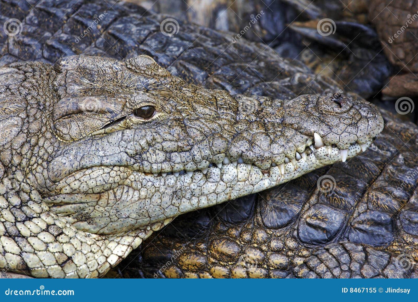 Krokodilnile stående