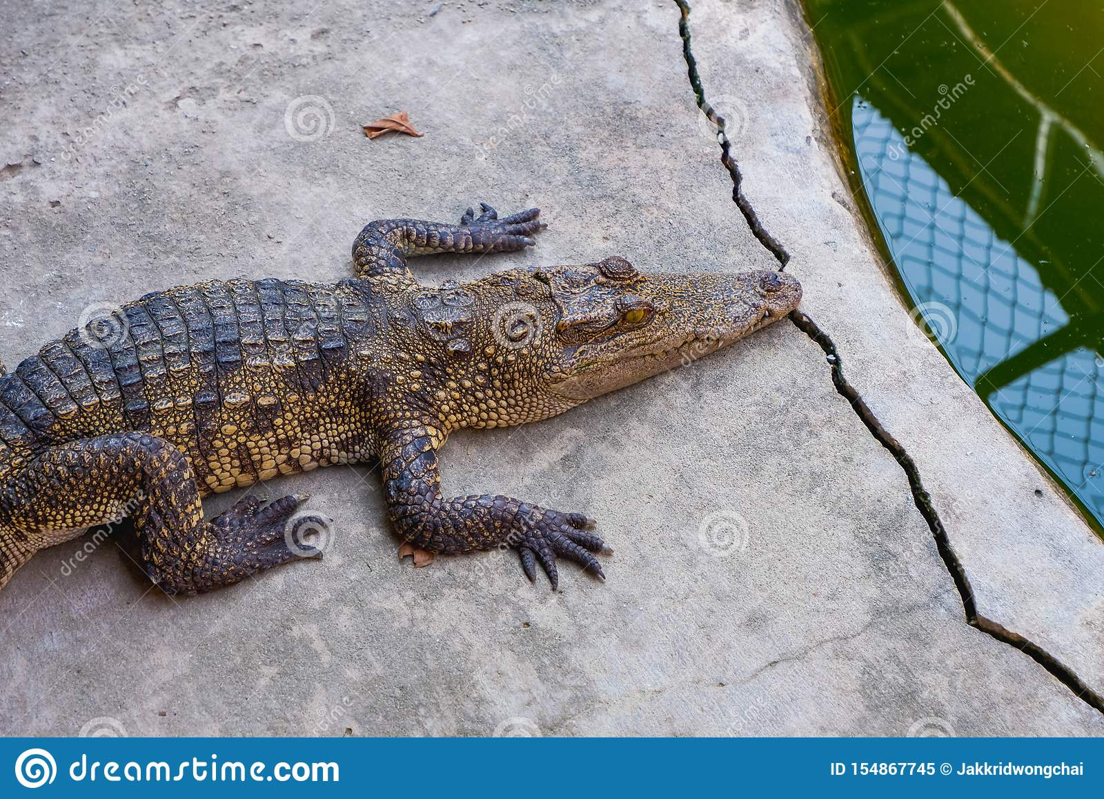 Krokodilrest auf dem Boden