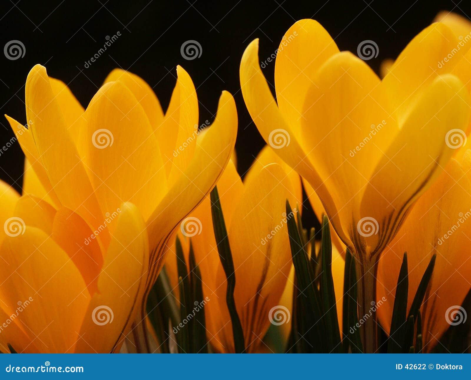 Krokus blommar yellow