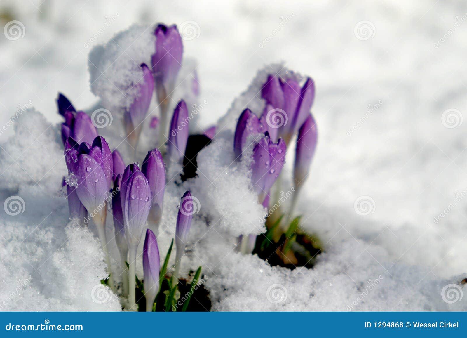 Krokus in de sneeuw (de lente)