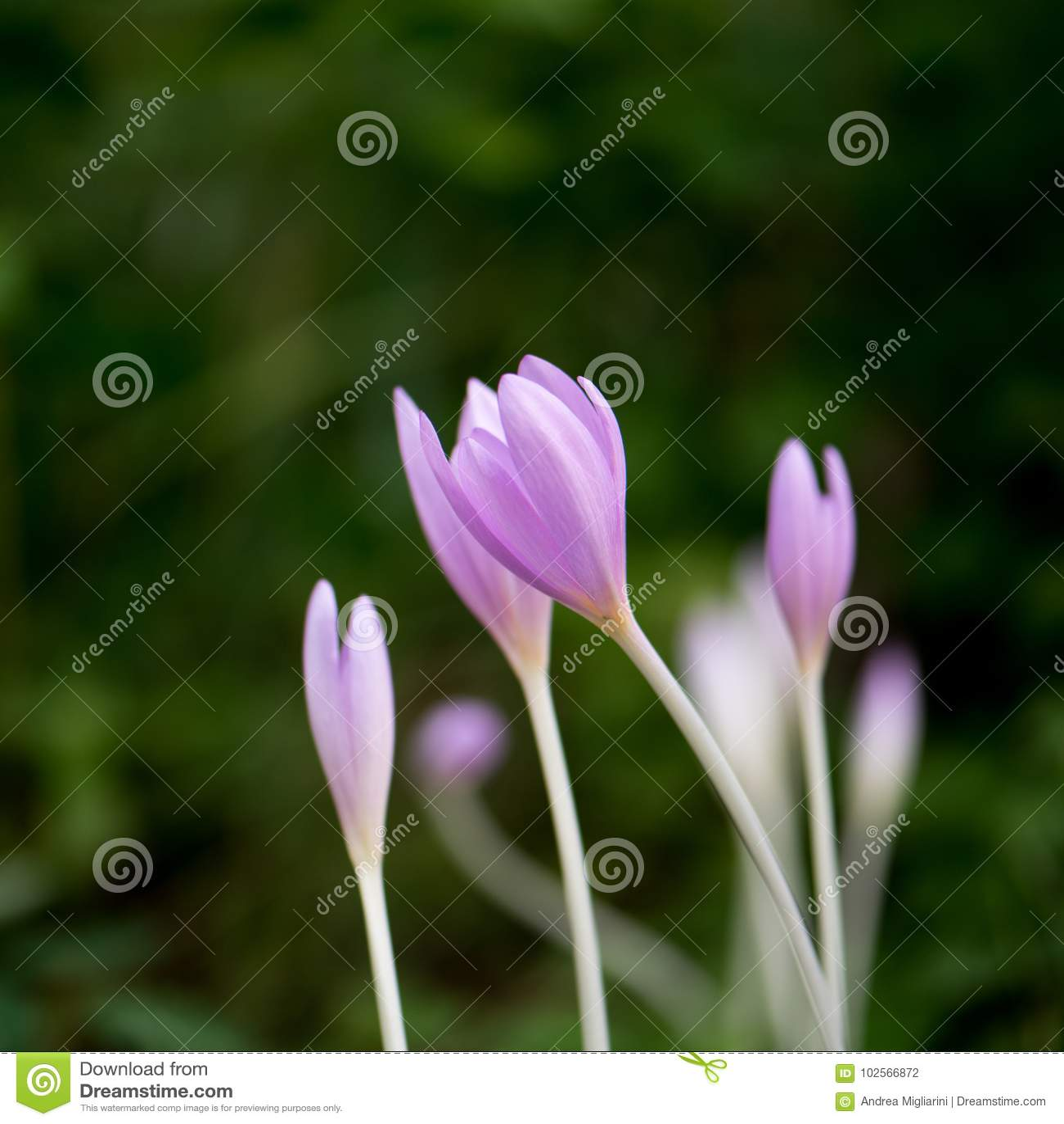 Krokus Vernus, naturliga blommor grundar i undervegetation av ett alpint