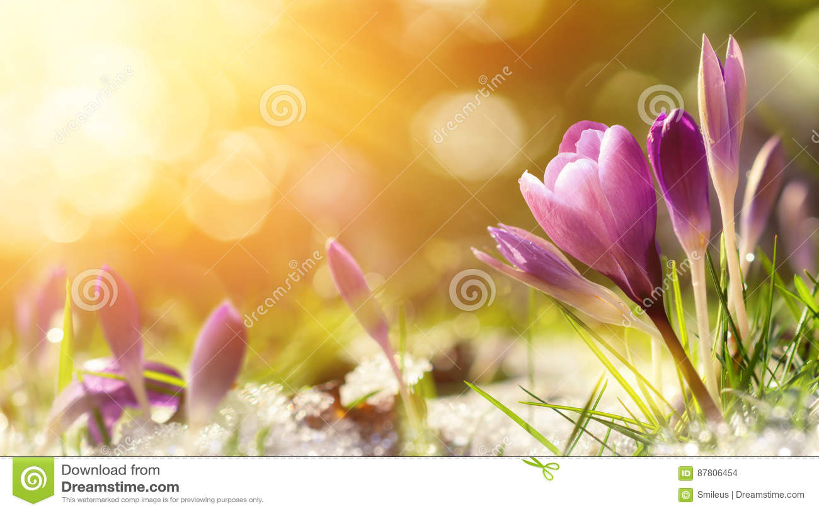 Krokusbloemen in sneeuw het wekken in warm zonlicht