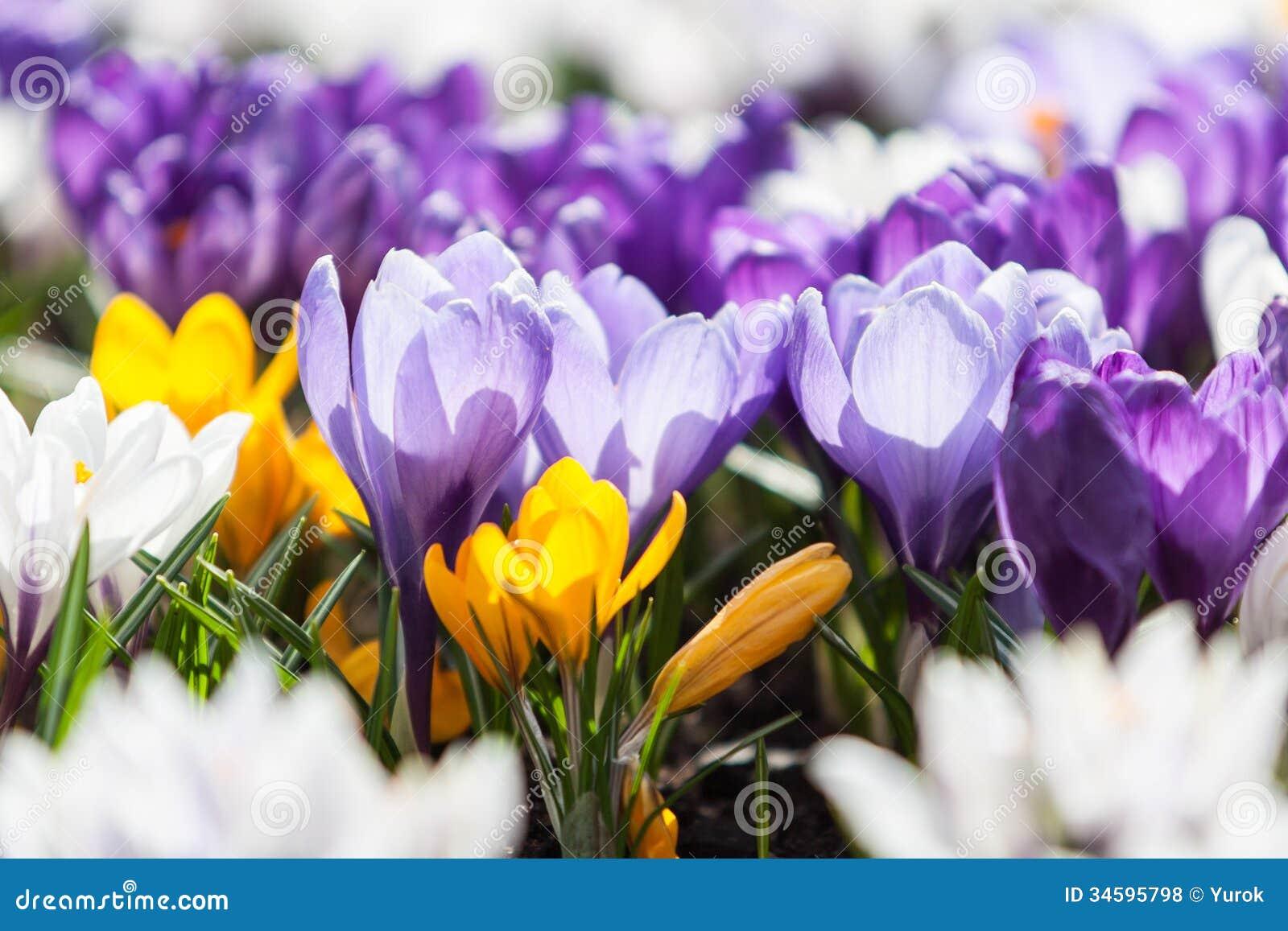 Krokusfrühlingsblumen