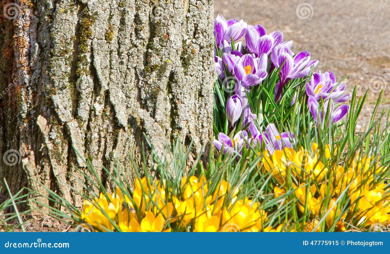 Geliebte Krokusse auf einem Baum stockbild. Bild von krokus, farben - 47775915 &PG_11