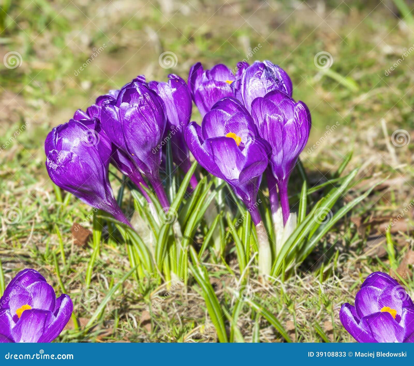 Krokussen, violette de lentebloemen.