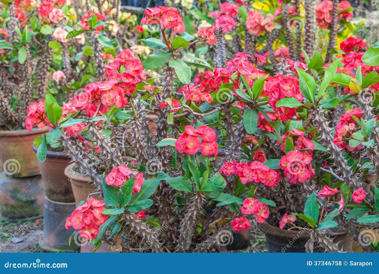 Krona av taggar, blommor för Poi sian, Euphorbia mil