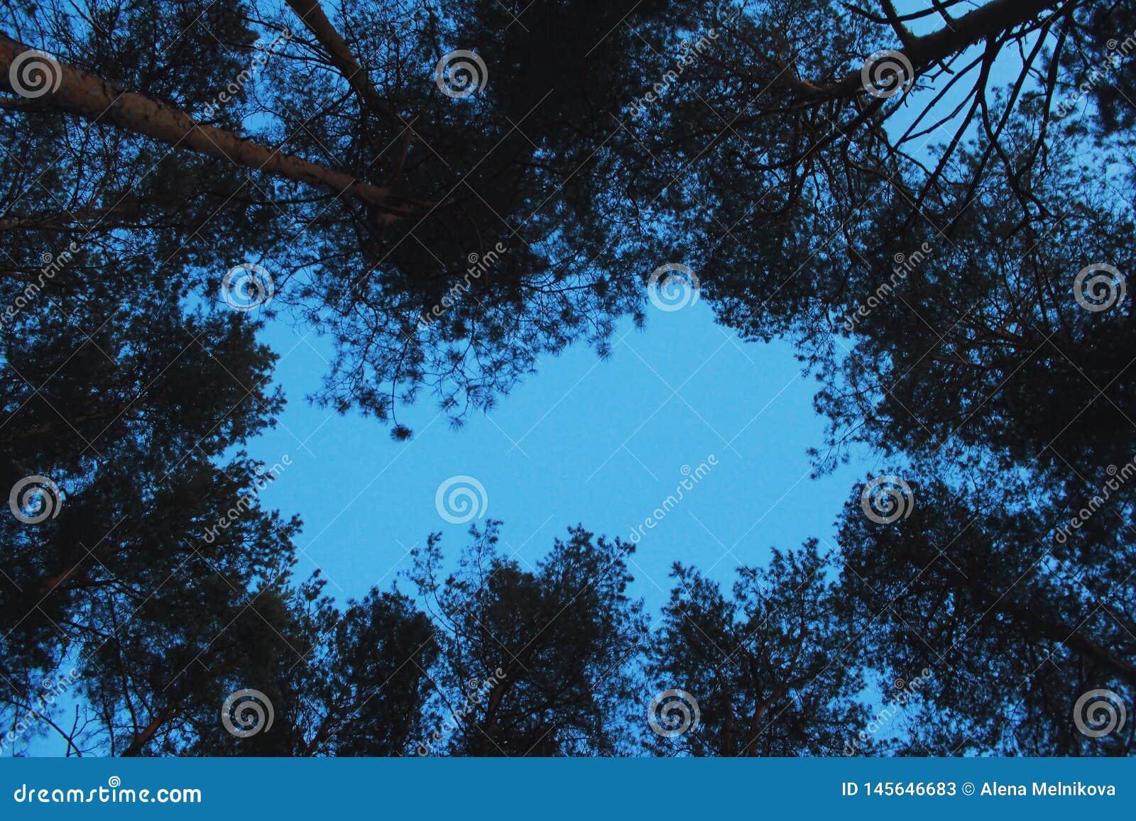 Kronen van pijnbomen tegen de avondhemel