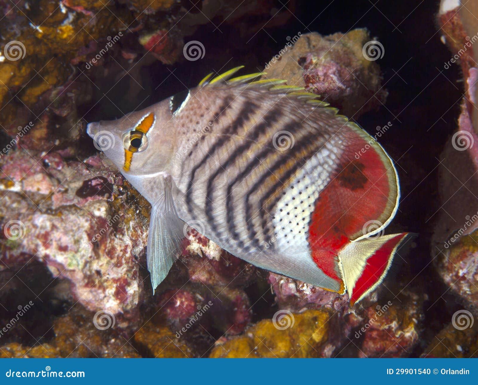 Kroon butterflyfish