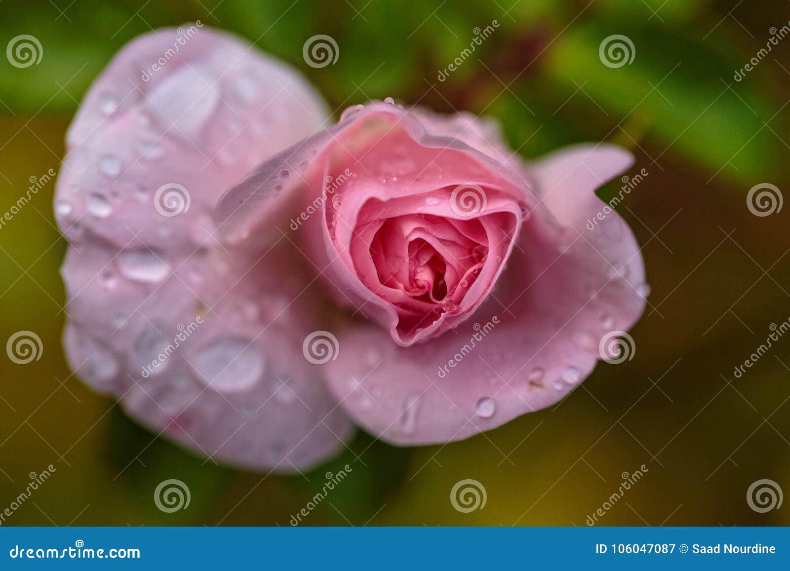 Kropel menchii róży woda