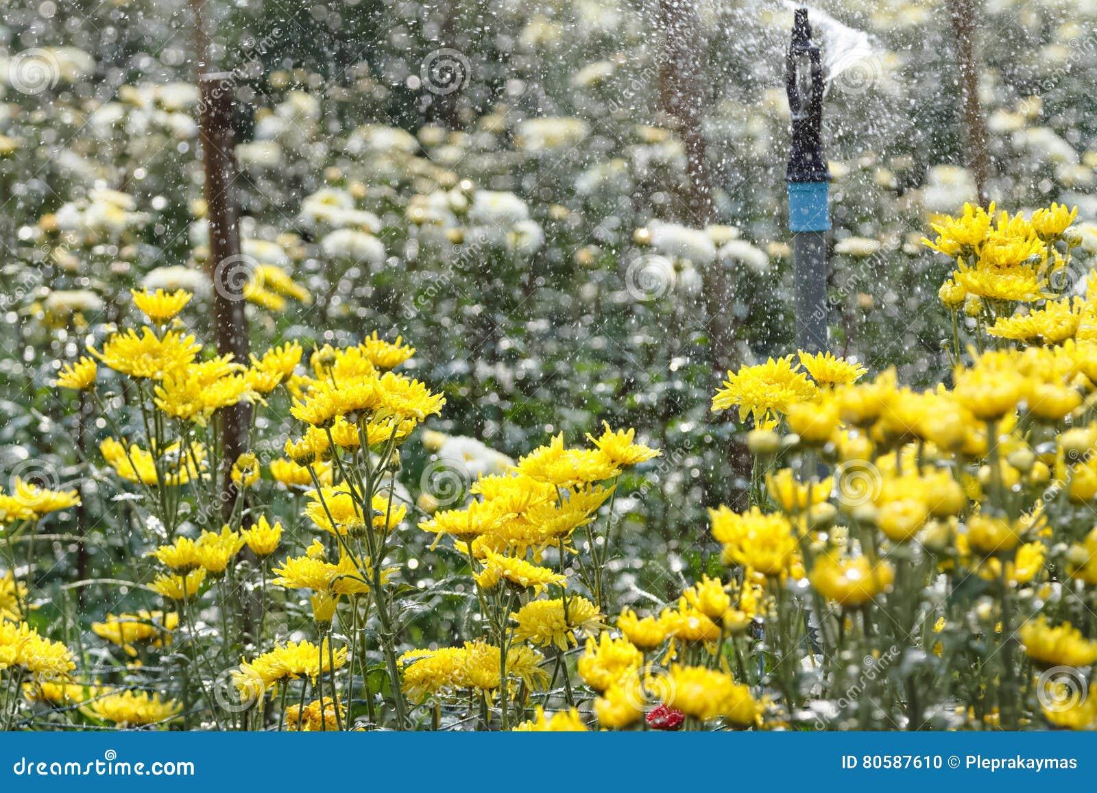 Kropidła podlewanie w chryzantema kwiatów gospodarstwie rolnym