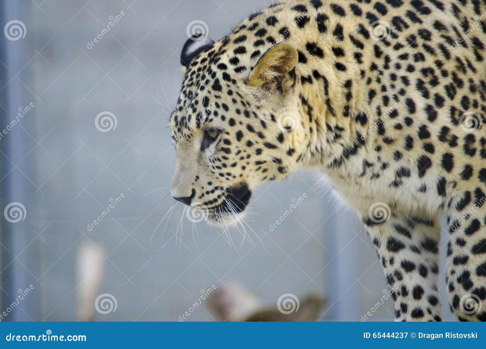 Kropkowany Kot Lampart Obraz Stock Obraz Złożonej Z Asia 65444237