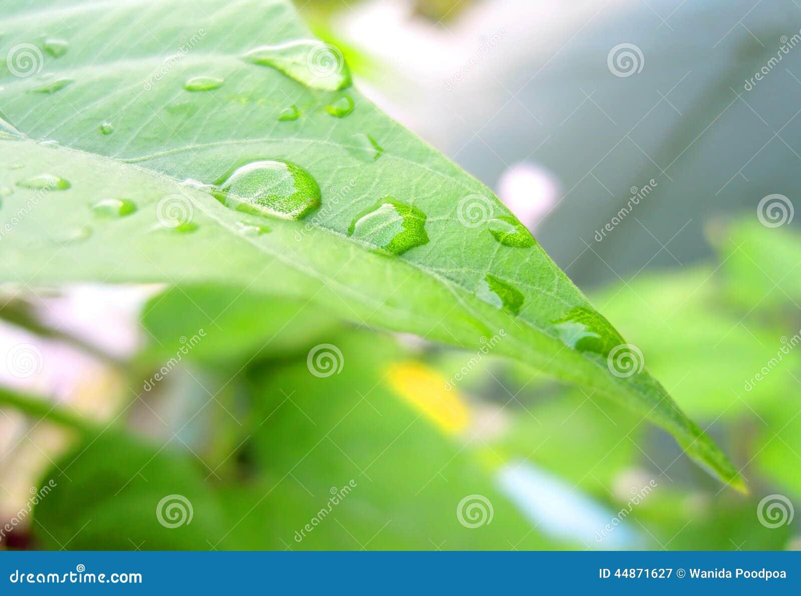Kropla na liściach