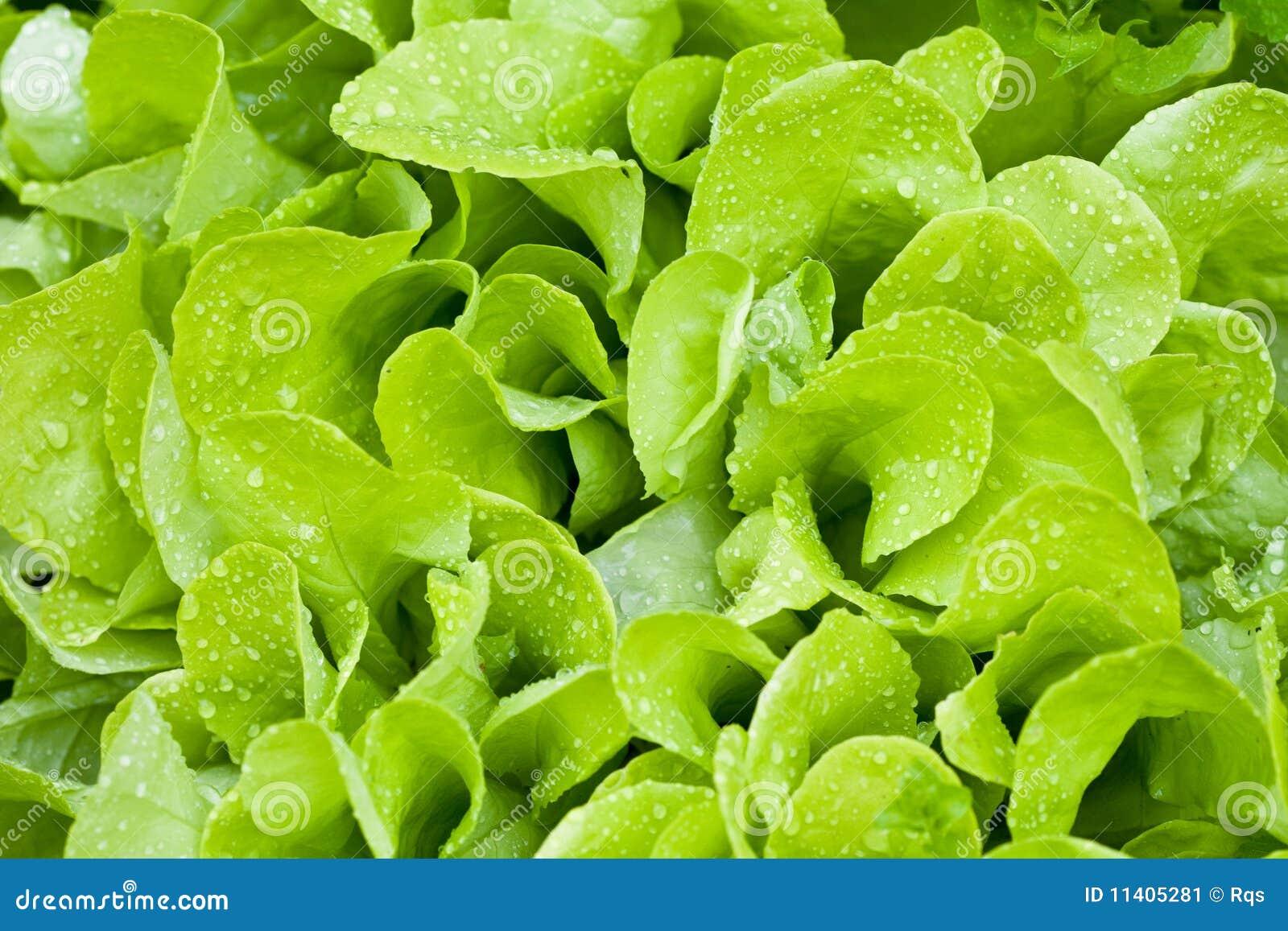 Kropli zieleń opuszczać sałatki mokry