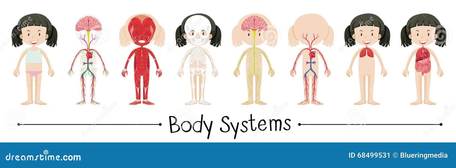 Kroppsystem av den mänskliga flickan