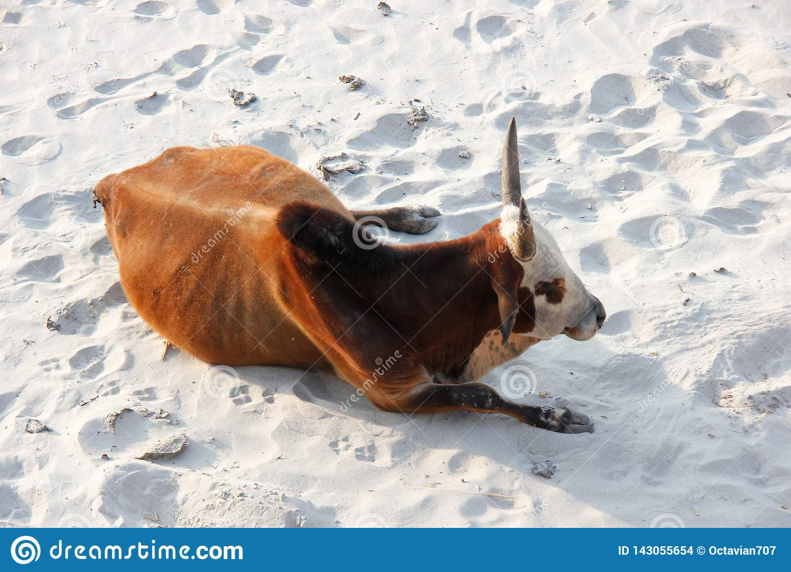 Krowa łgarski puszek na plaży w India