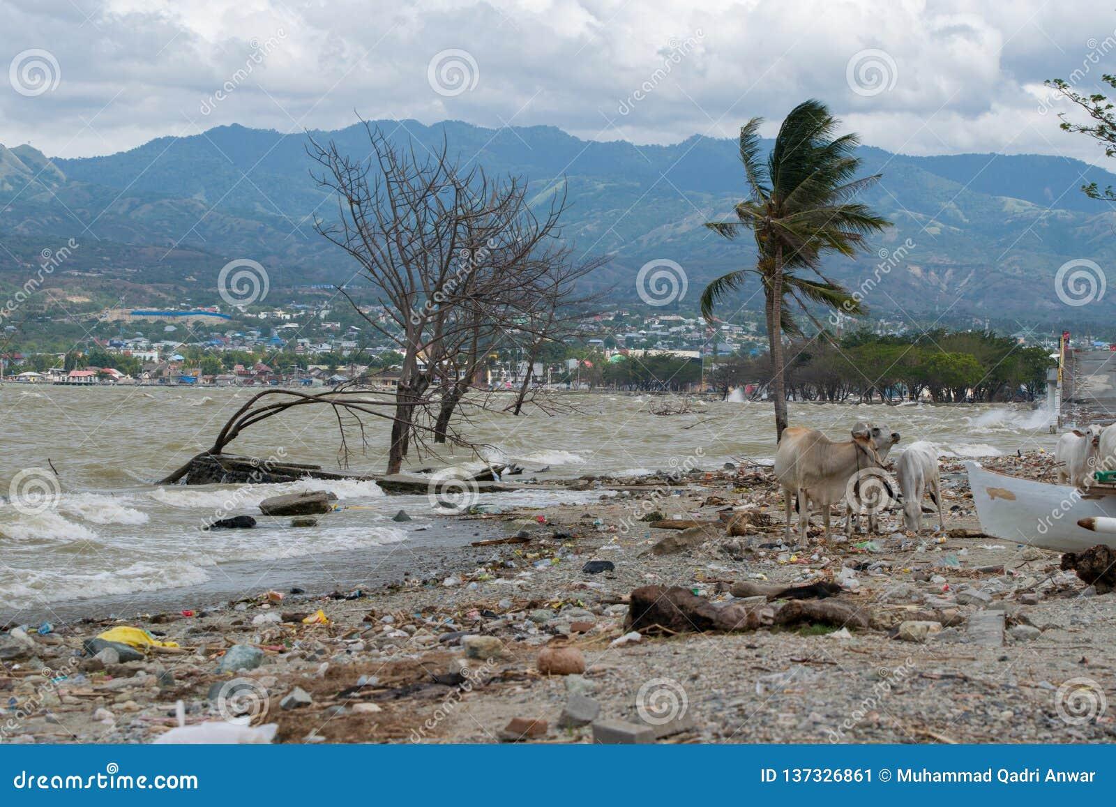 Krowa bawić się na linii brzegowej 3 miesiąca po tsunami Palu
