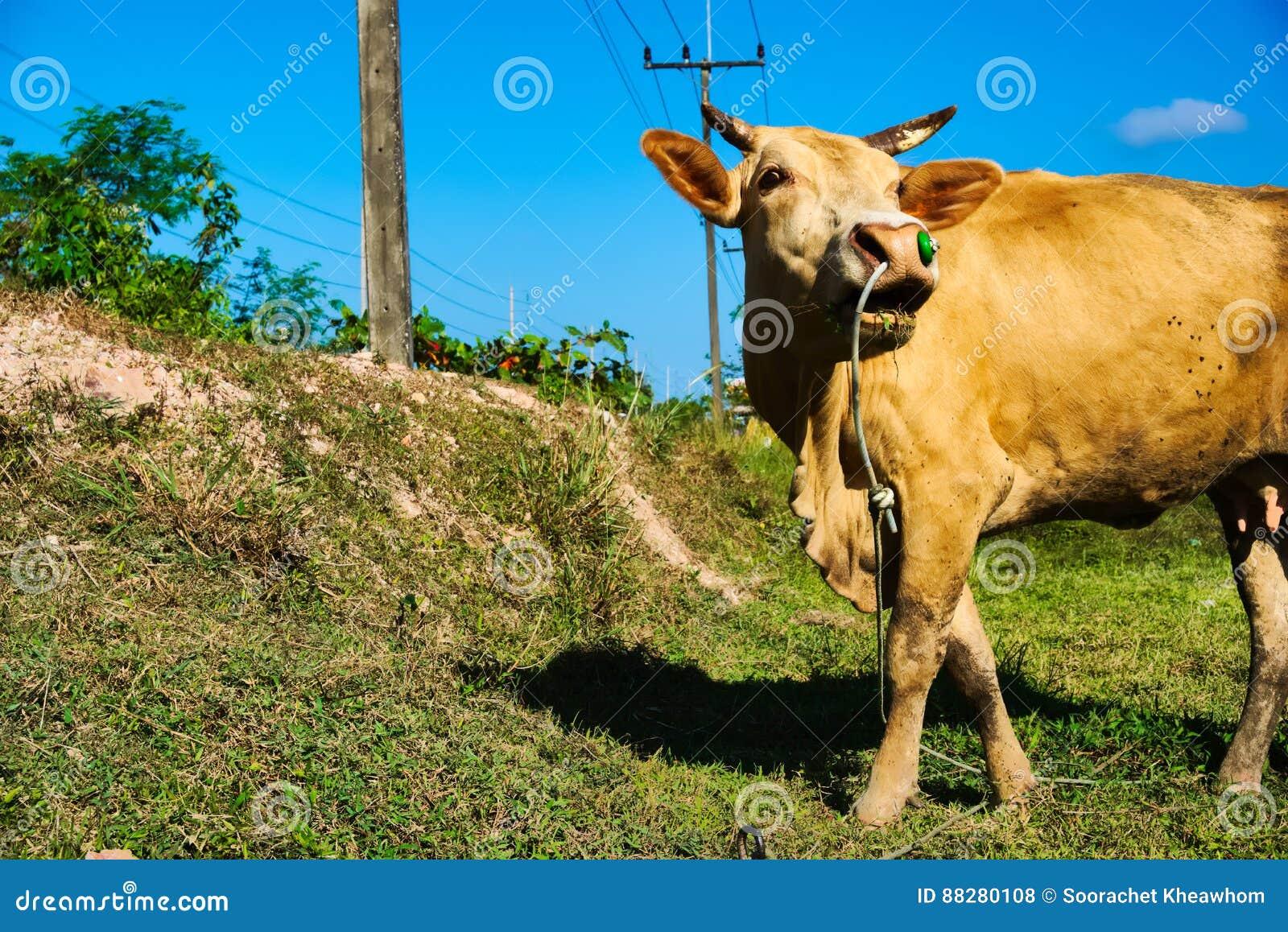 Krowa był zaprzęgać