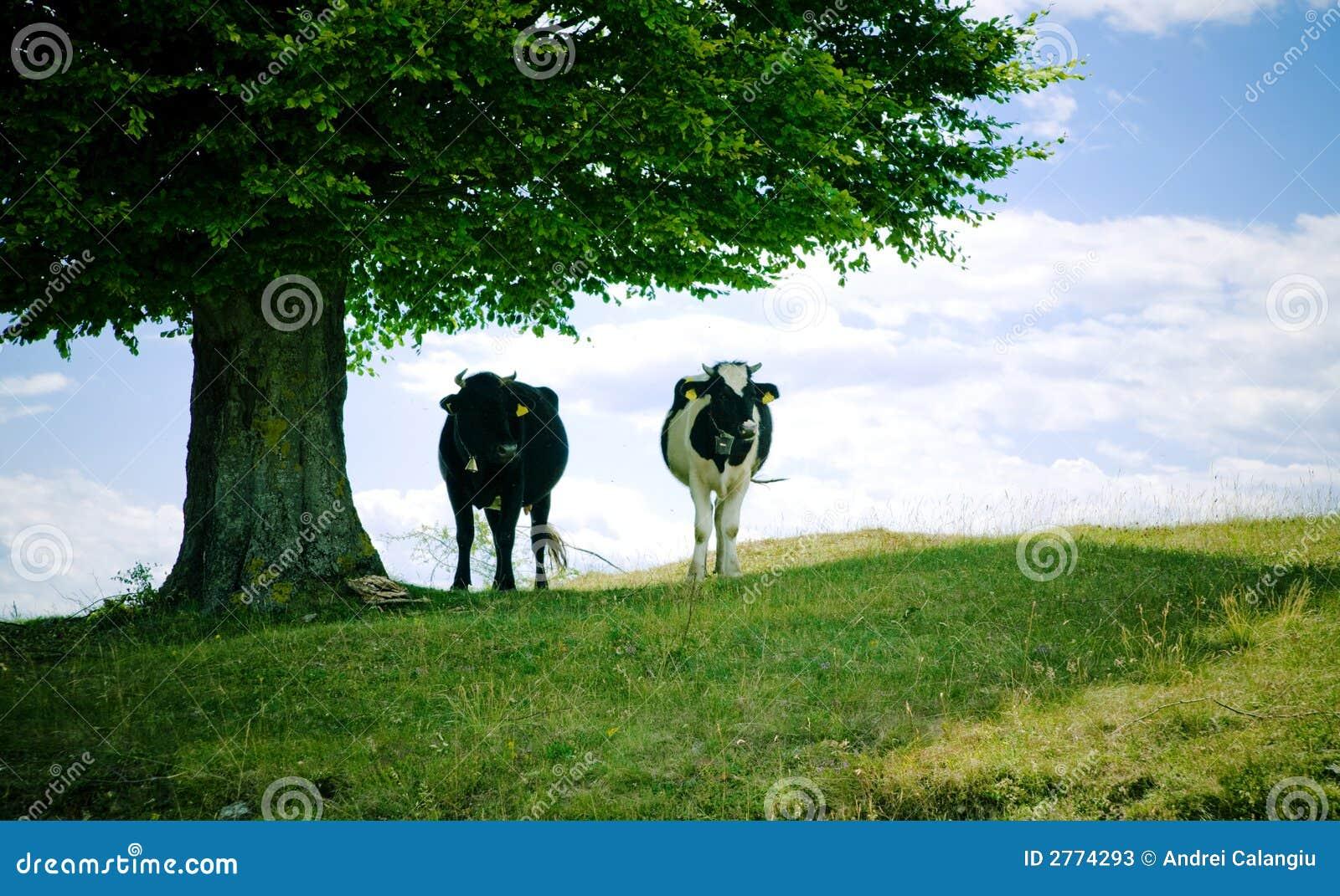 Krowa cień.