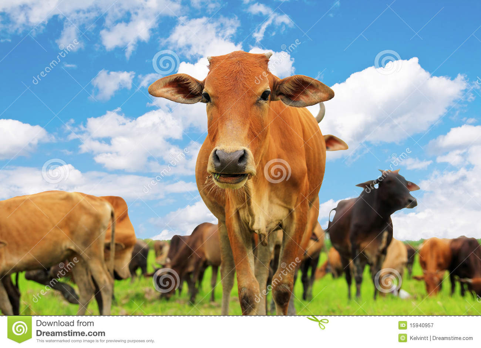 Krowa ciekawa