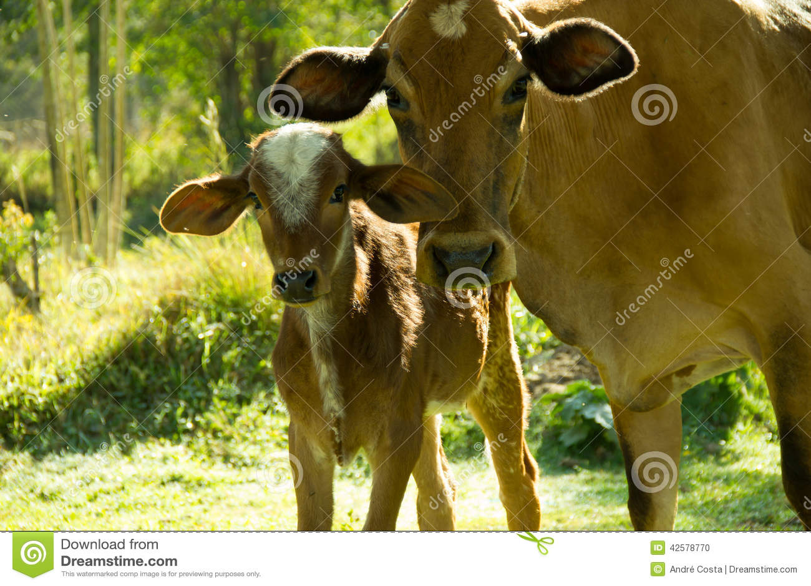 Krowa i łydka